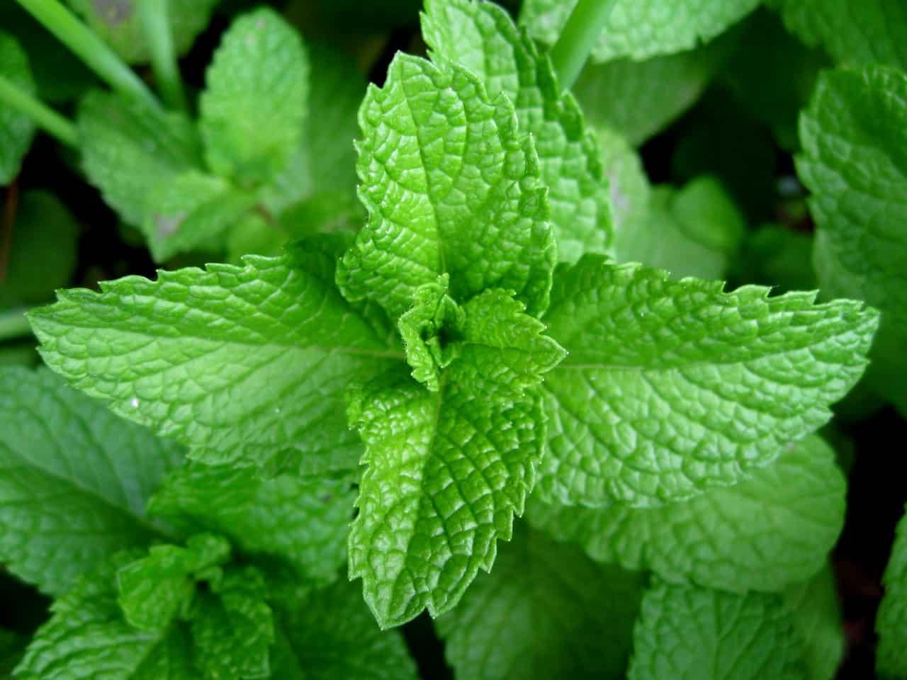 Mint Leaves NAET Dubai