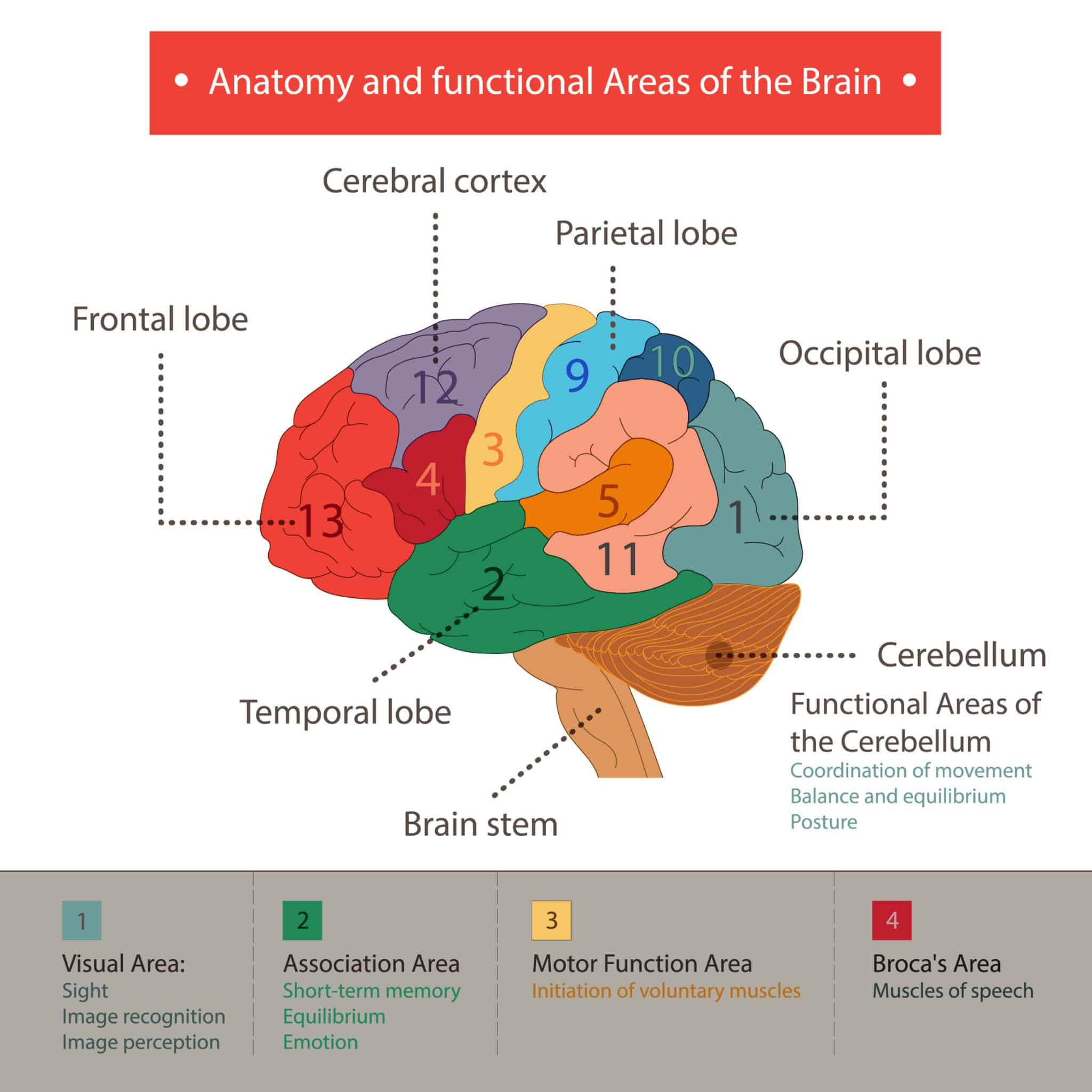 Parts of the brain and its functions - NAET Dubai